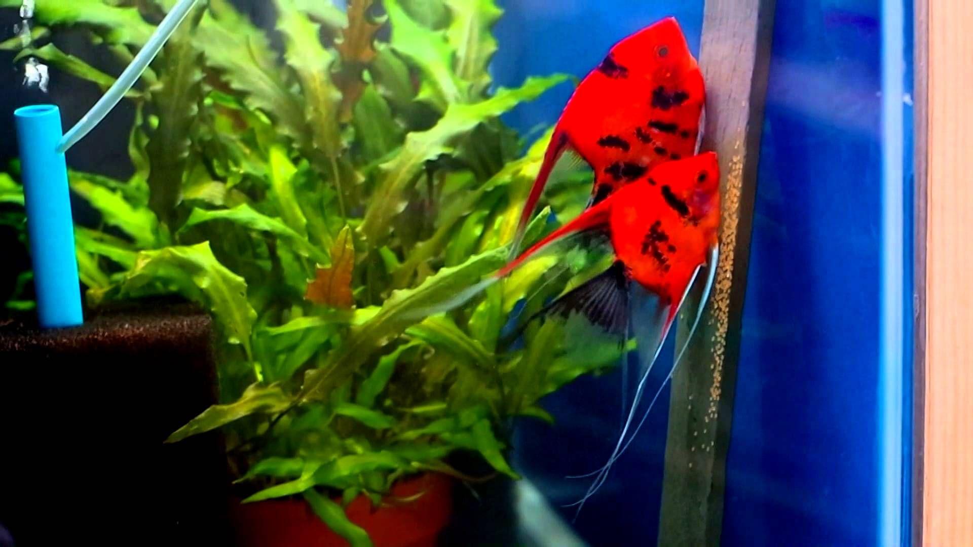 Freshwater aquarium fish breeding - Koi Angelfish Angelfish Breeding Pair 1051 Youtube
