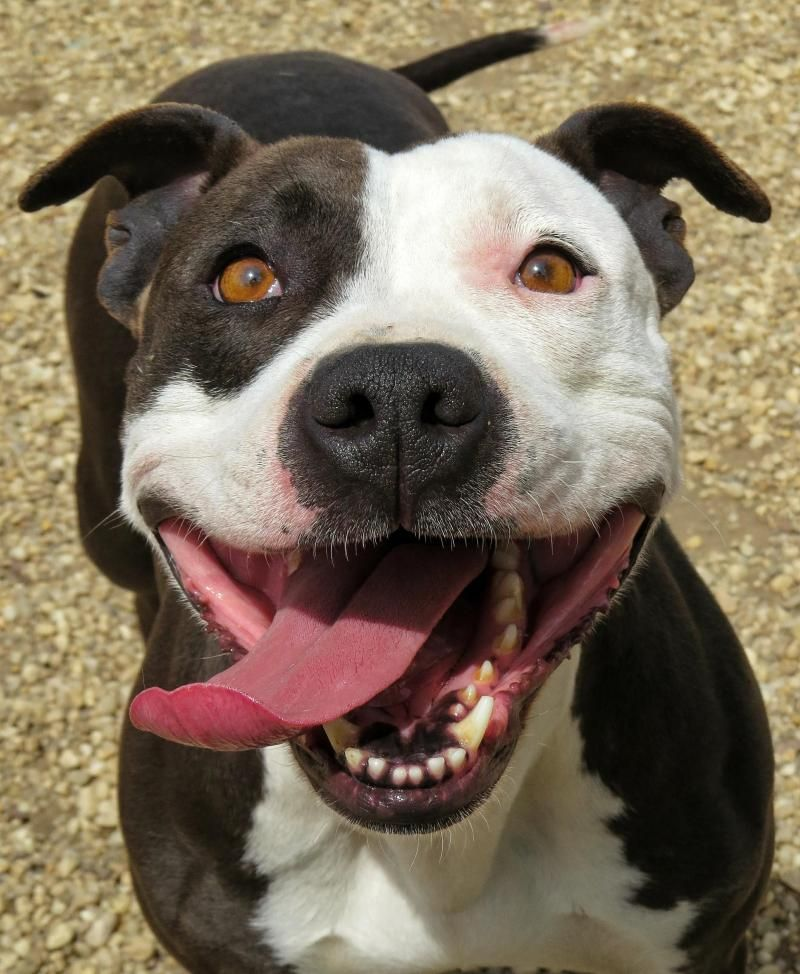 17-214 Baby is an adoptable Pit Bull Terrier searching for a forever family near West Babylon, NY. Use Petfinder to find adoptable pets in your area.