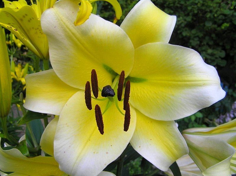Lily Conca D Or Was One Lily Our Floral Arrangers In Gardeners Connect Demanded We Put In Our 2014 Lilypalooza Sale It Is A Sturdy Or Trumpet Lily Lily Lilium