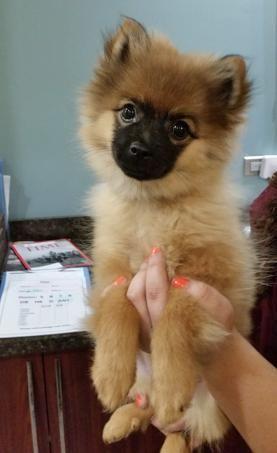 Adopt Greta On Pomeranian Mix Puppies Pomeranian Mix Puppies