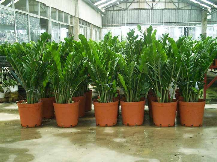 Super indestructible zz plant zamioculcas zamiifolia for Plante zamioculcas