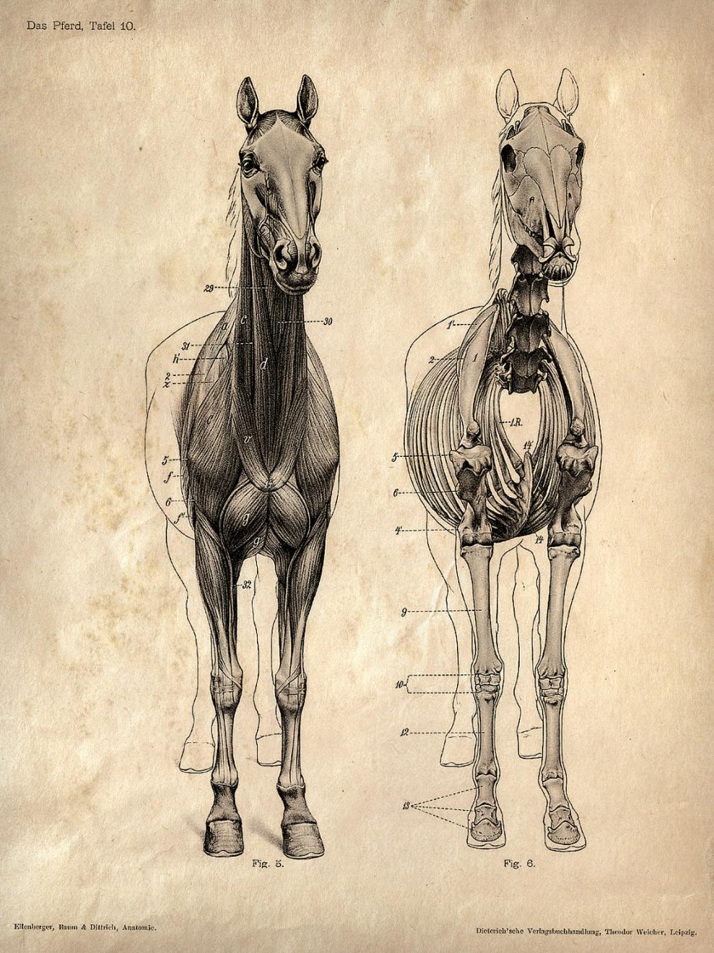 Horse anatomy Skeleton Prints - Two Matching Vintage ...