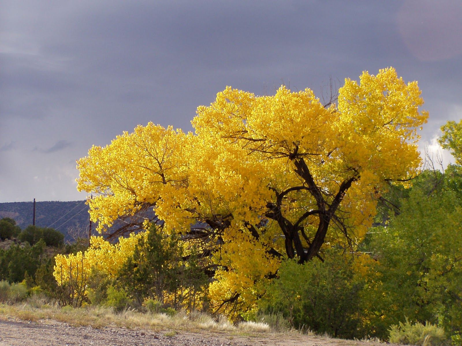 The cottonwoods of northern New Mexico are the most ...