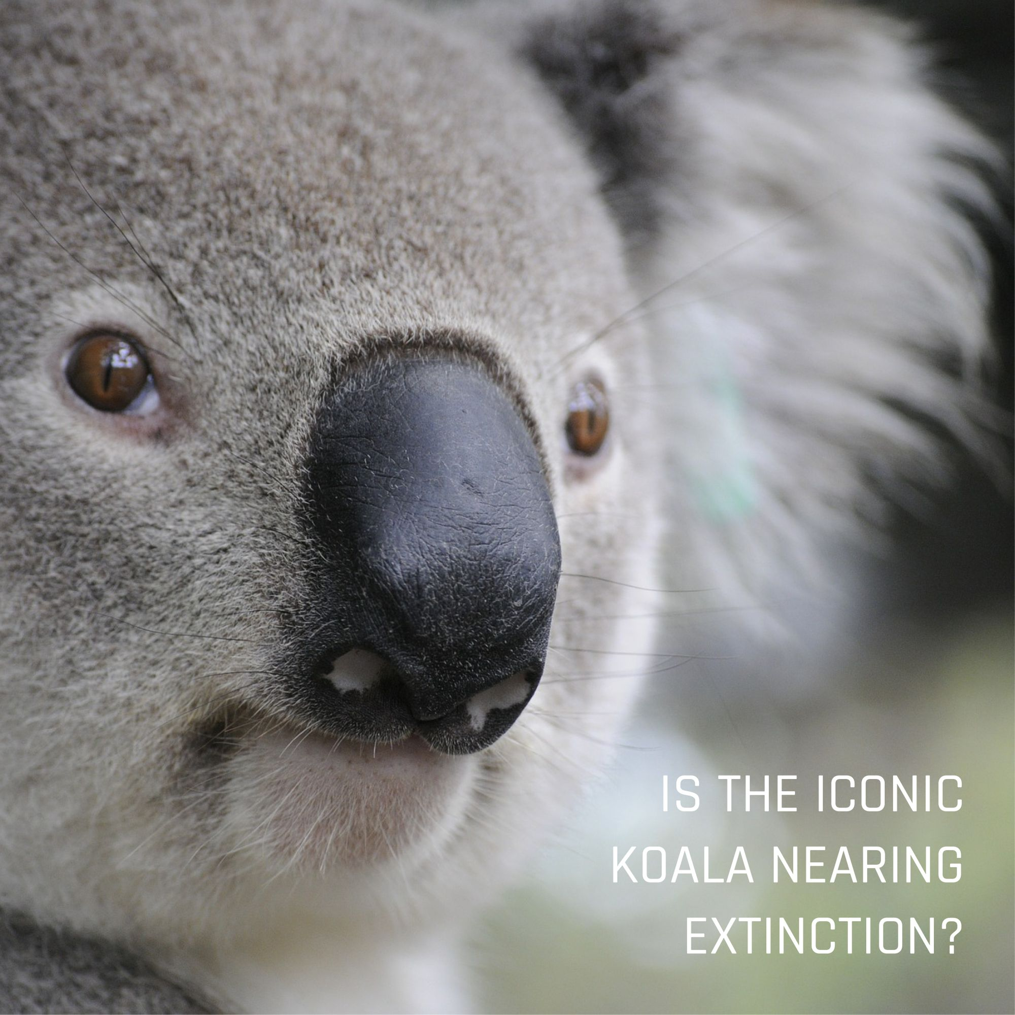 Australia Doesn T Have A Good Track Record On Species Extinction But Surely It Won T Let The Iconic Animal Disappear According To Cons Koala Koala Bear Koalas