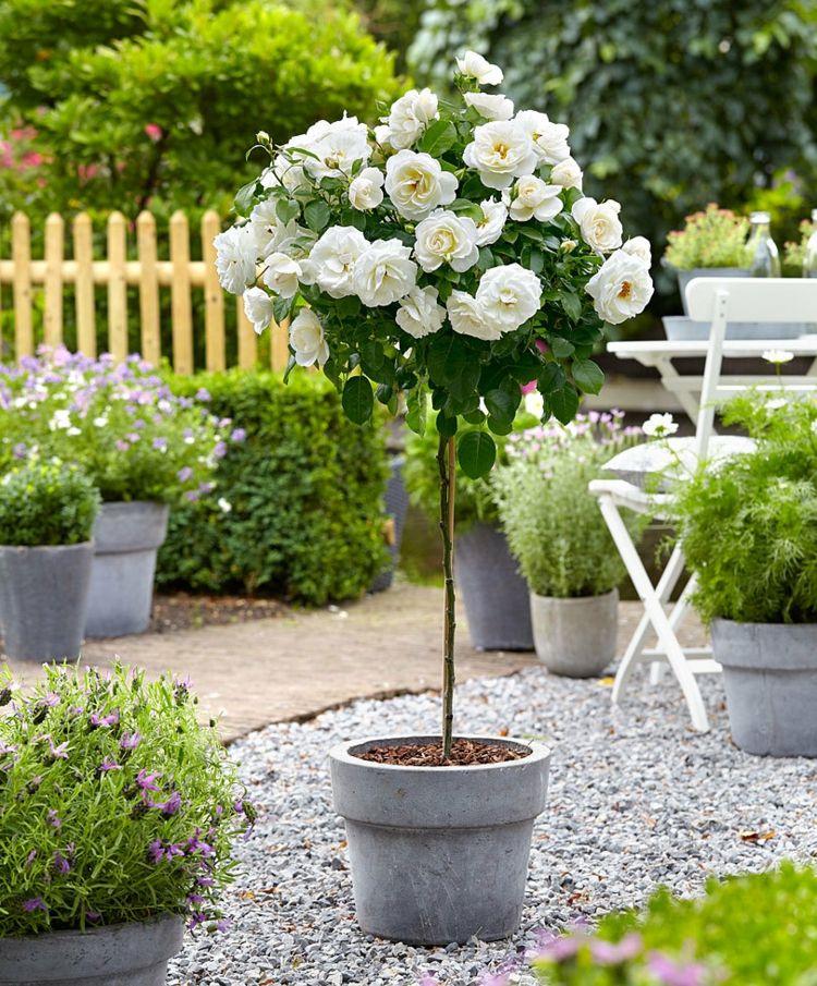 Weiss Creme Rosensorten Kubelpflanzen Krone Kugelformig Pflanzen Bepflanzung Vorgarten Anlegen