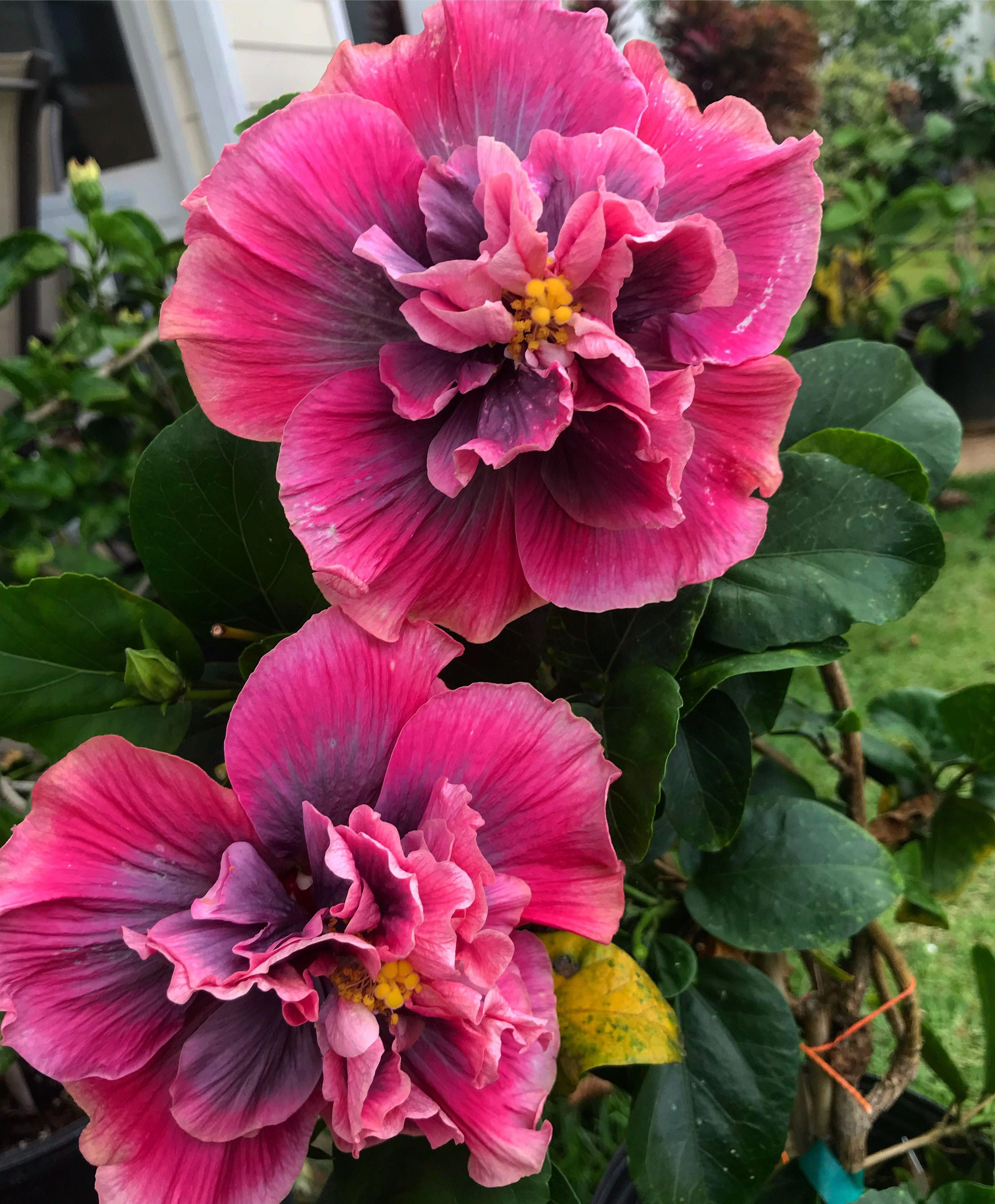 Hibiscus Of Hawaii Indian Bride Hibiscus Hibiscus Bloemen Planten Tuinieren