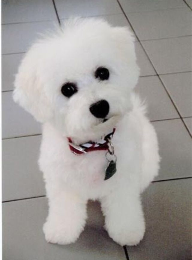 Baby Bichon Looks So Cute Like A Stuffed Animal Toy Bichon