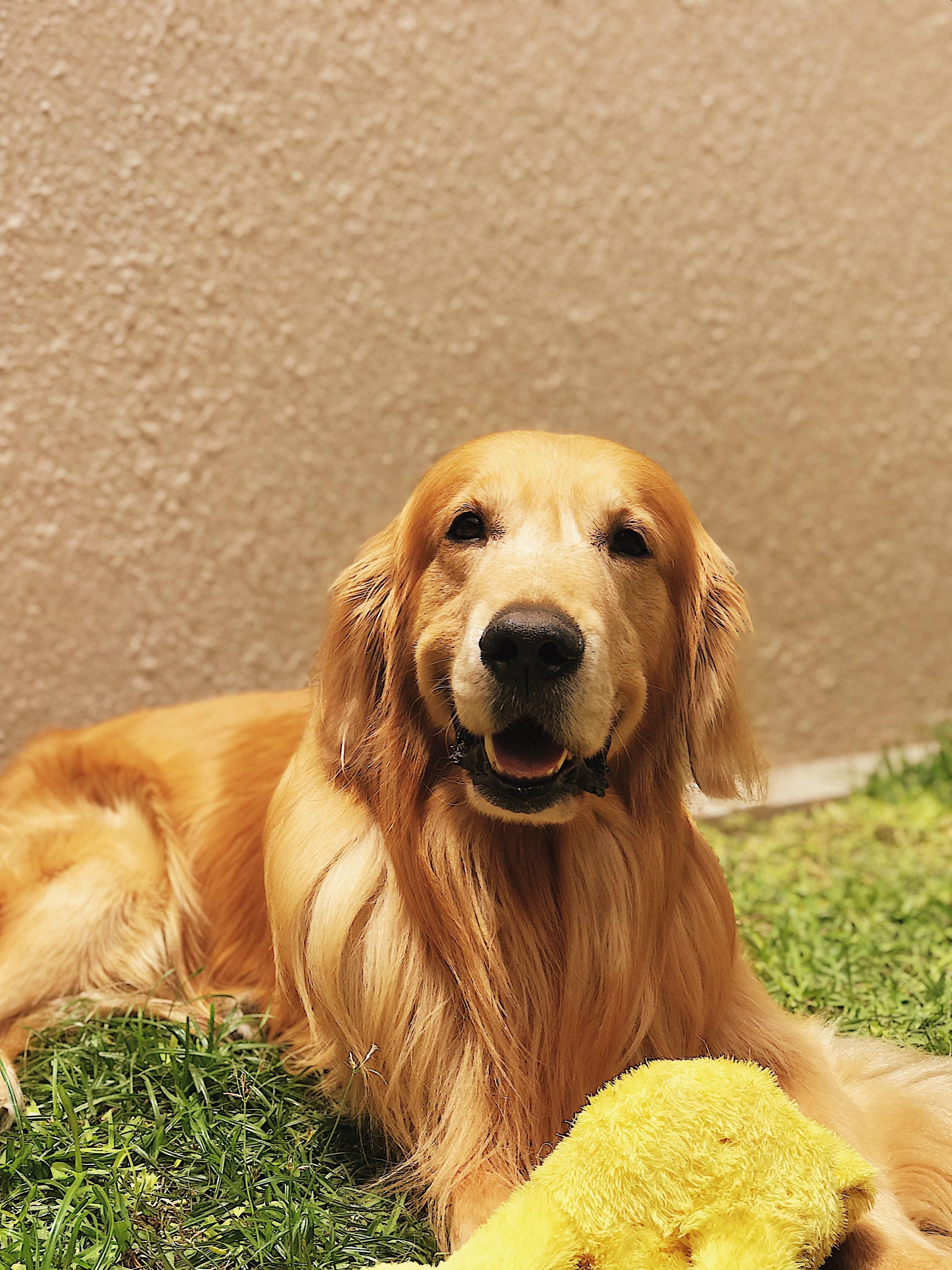 47 Adorable Golden Retriever Mix Breeds Dogs Golden Retriever Cute Fluffy Puppies Fluffy Puppies