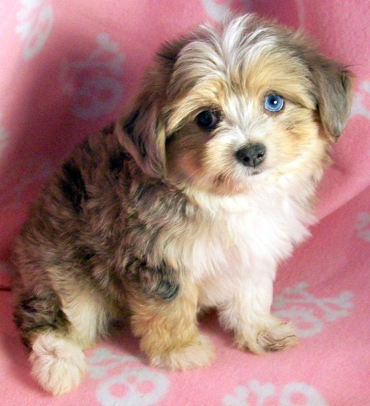 Designer Dogs Teddy Bears Litlle Shih Tuz Mixes Poodle Dog