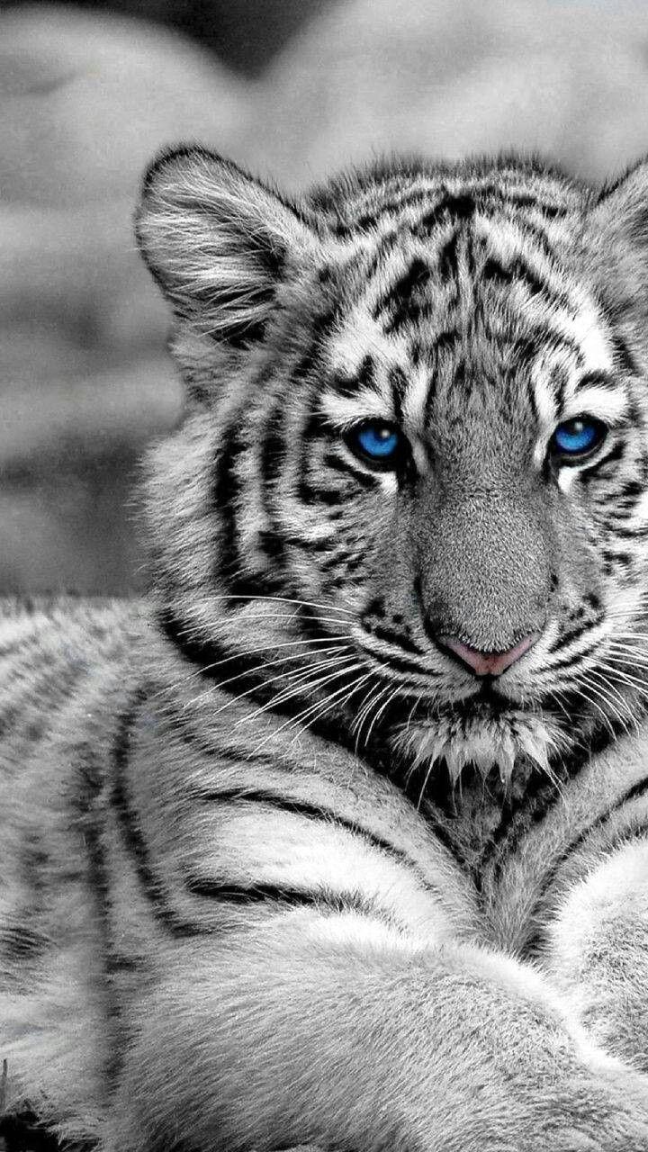 Pin Von Anna Schillinger Auf Katzenbilder Mit Bildern Raubtiere Katzen Bilder Susse Tiere
