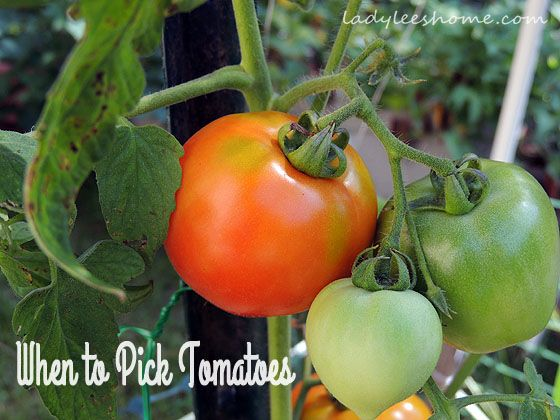 When To Pick Tomatoes Growing