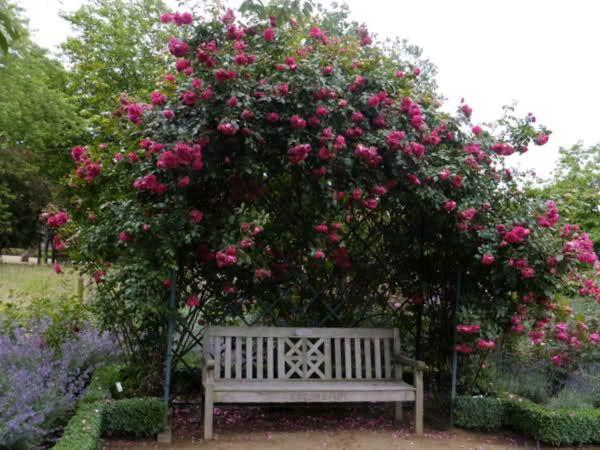 Rosenpavillon   öfterblühende Raketen   Mein Schöner Garten Forum