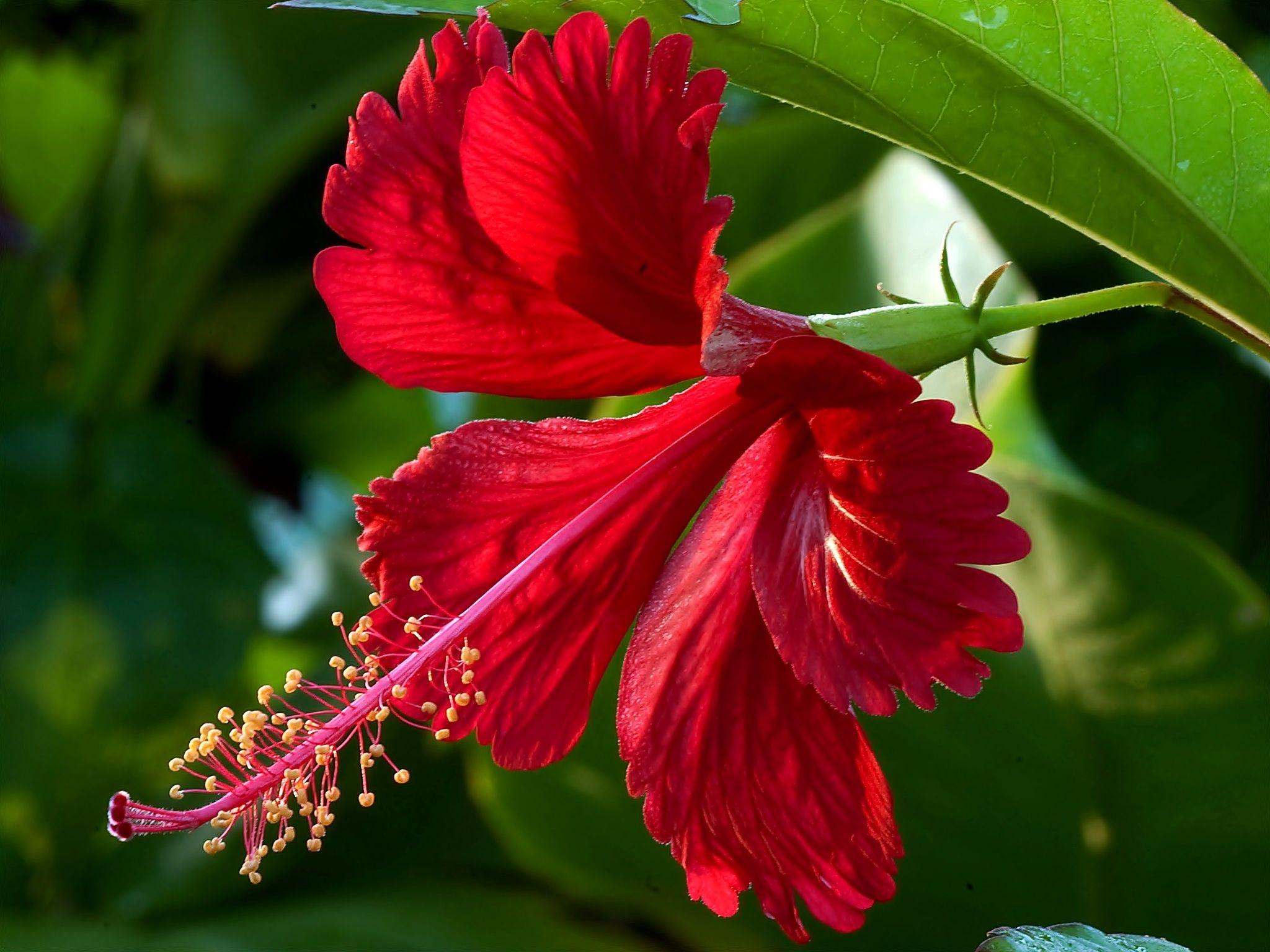 Pikny czerwony kwiat kwiaty pinterest hibiscus flowers and kptallat a kvetkezre flower izmirmasajfo