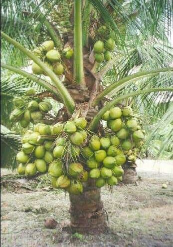 Unusual small trunk coconut trees garden pinterest for Unusual small trees