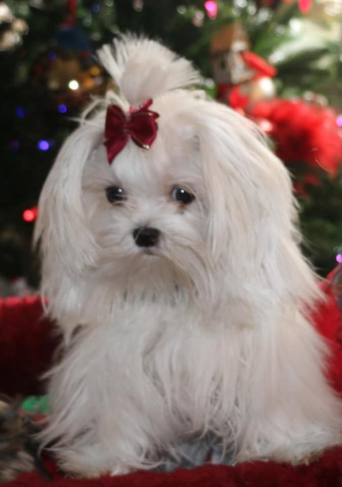 Pin By Sheri Baxley On It Never Hurts To Wish With Images Maltese Puppy Cute Dogs Maltese Dogs