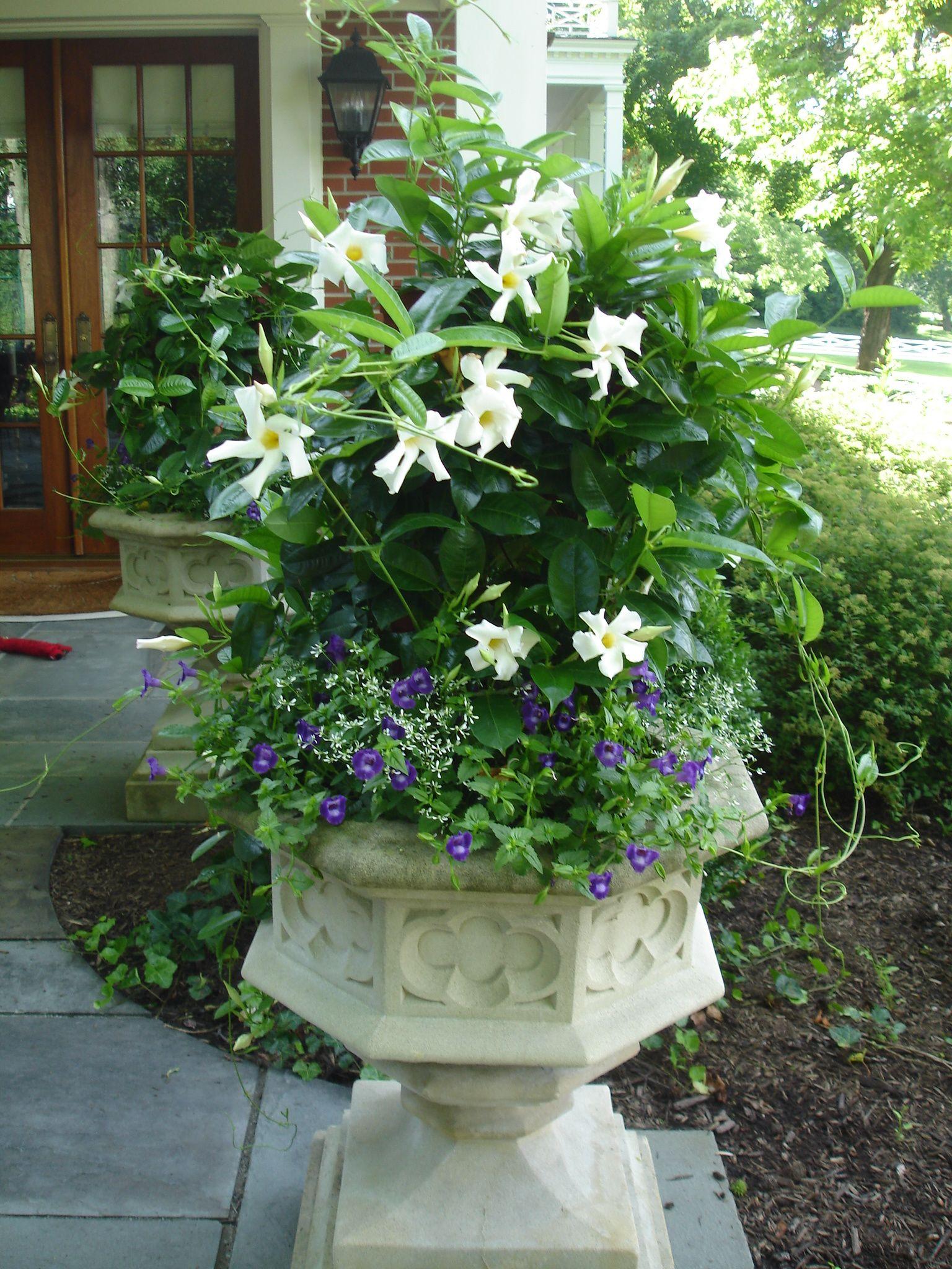 White Mandevilla With Torenia I Think Plants I Have Pinterest