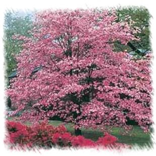 Cherokee Brave Dogwood South Fence With Images Spring Flowering Trees Pink Dogwood Tree Dogwood Trees