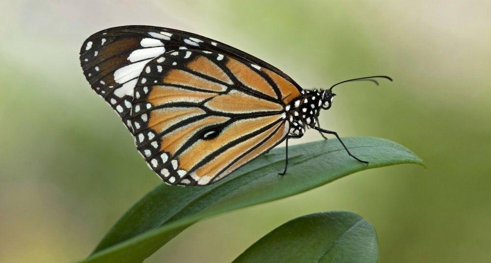 Rescatar a la mariposa monarca, ¿aún hay tiempo? | Pinterest ...
