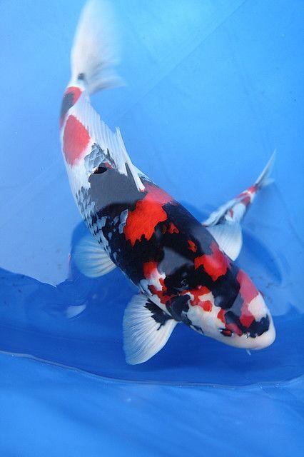 Sj 09 koi show 06 koi acuario y carpas koi for Carpas para acuario