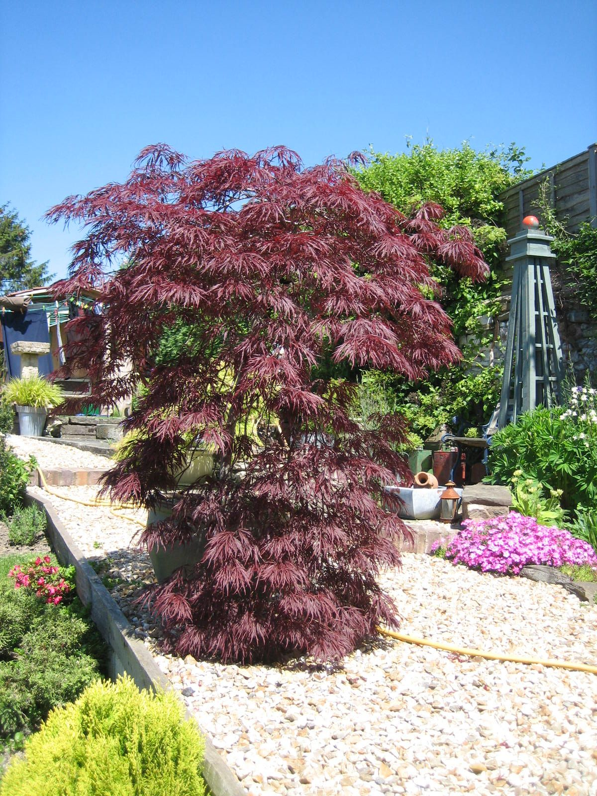 On of our lovely Acers.