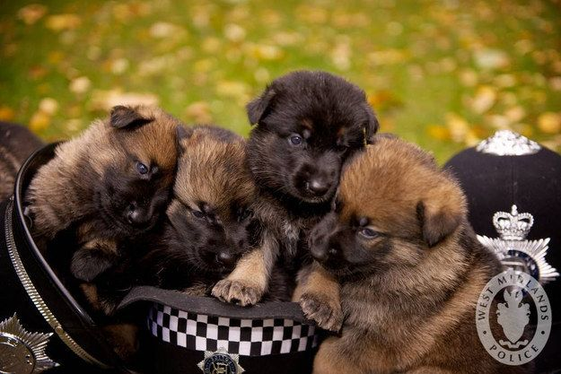 And this crew of police puppies who are preparing for their big days on the job. | 42 Pictures That Will Make You Almost Too Happy