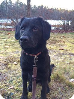 Washington Dc Flat Coated Retriever Mix Meet Willow Reduced W