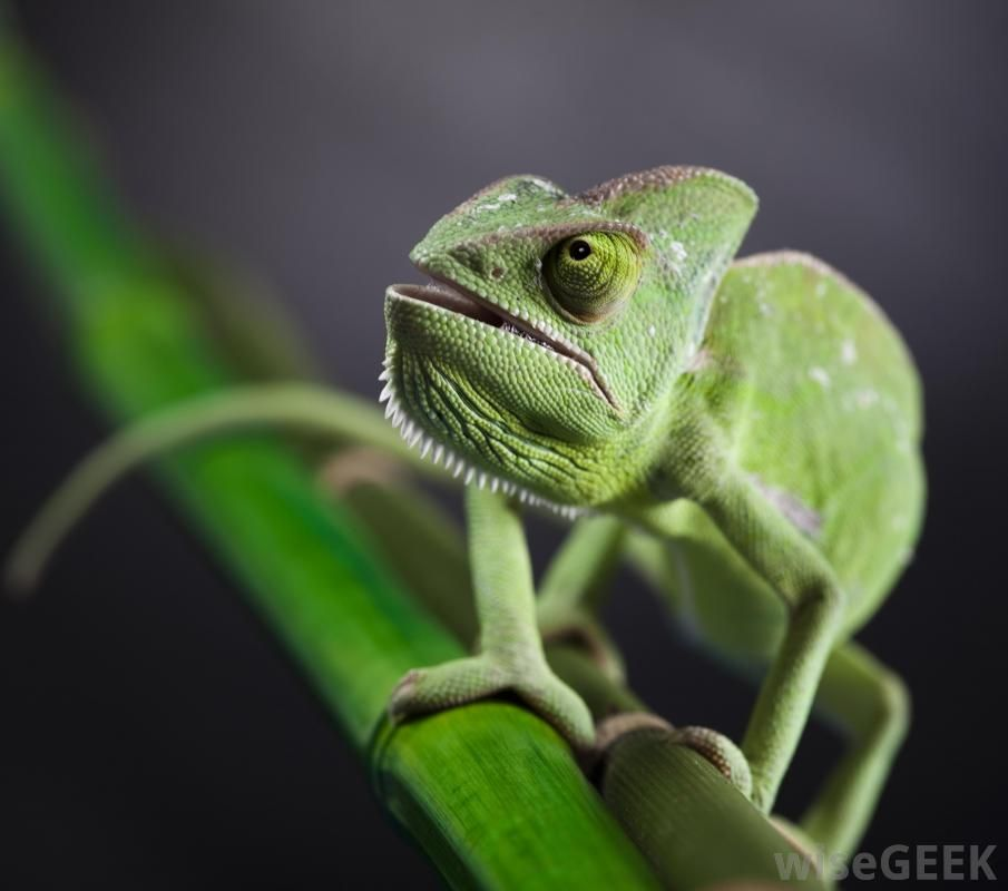 A chameleon is a type of color-changing lizard with independently-movable eyes and & A chameleon is a type of color-changing lizard with independently ... azcodes.com
