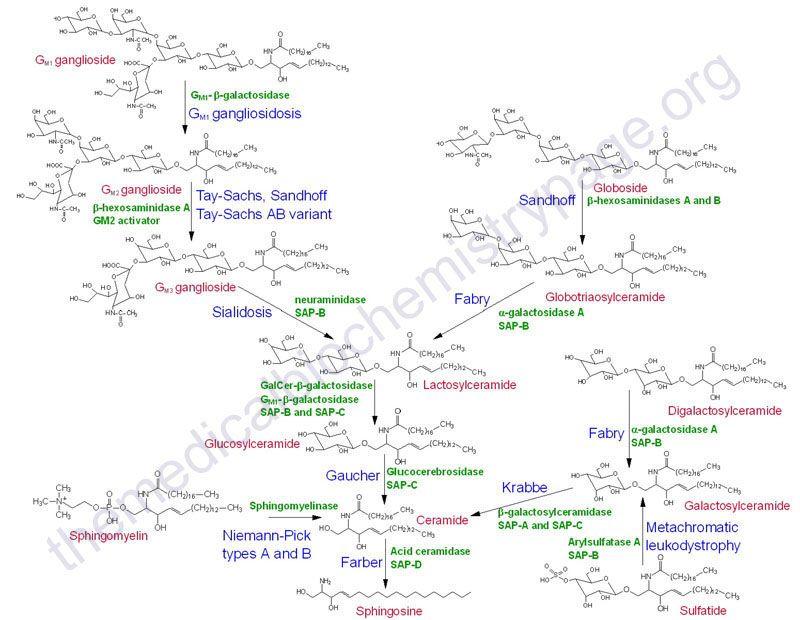 Pathways Of Sphingolipid Degradation Biochemistry Chemical Structure Metabolism