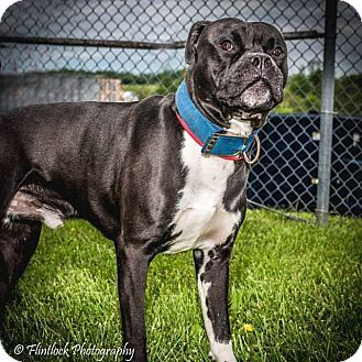 Mount Sterling Ky Boxer Mix Meet Freddy A Dog For Adoption