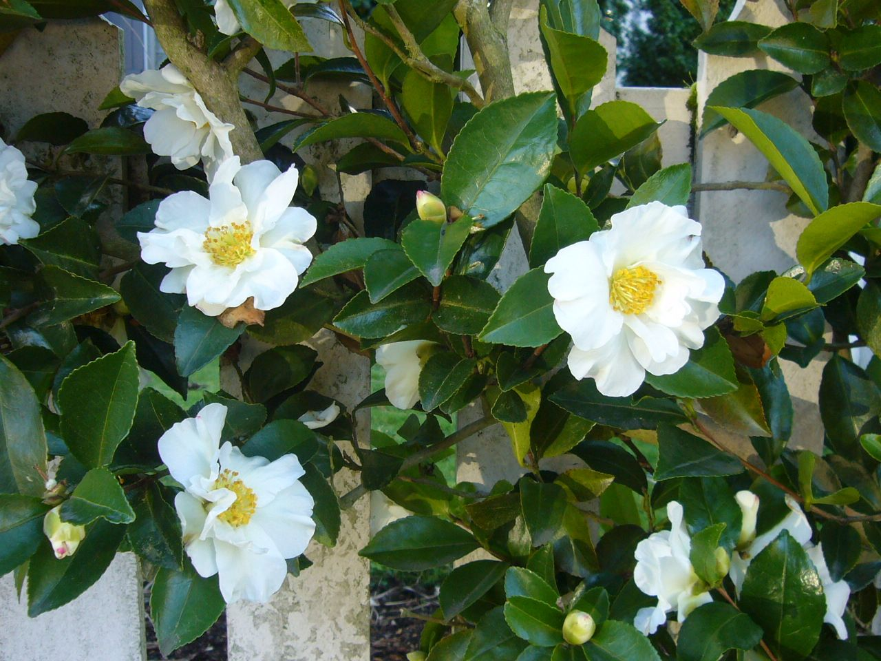 Camellia Sasanqua Setsugekka Another Rhododendron Replacement Possibility Camellia Perfect Garden Shade Plants