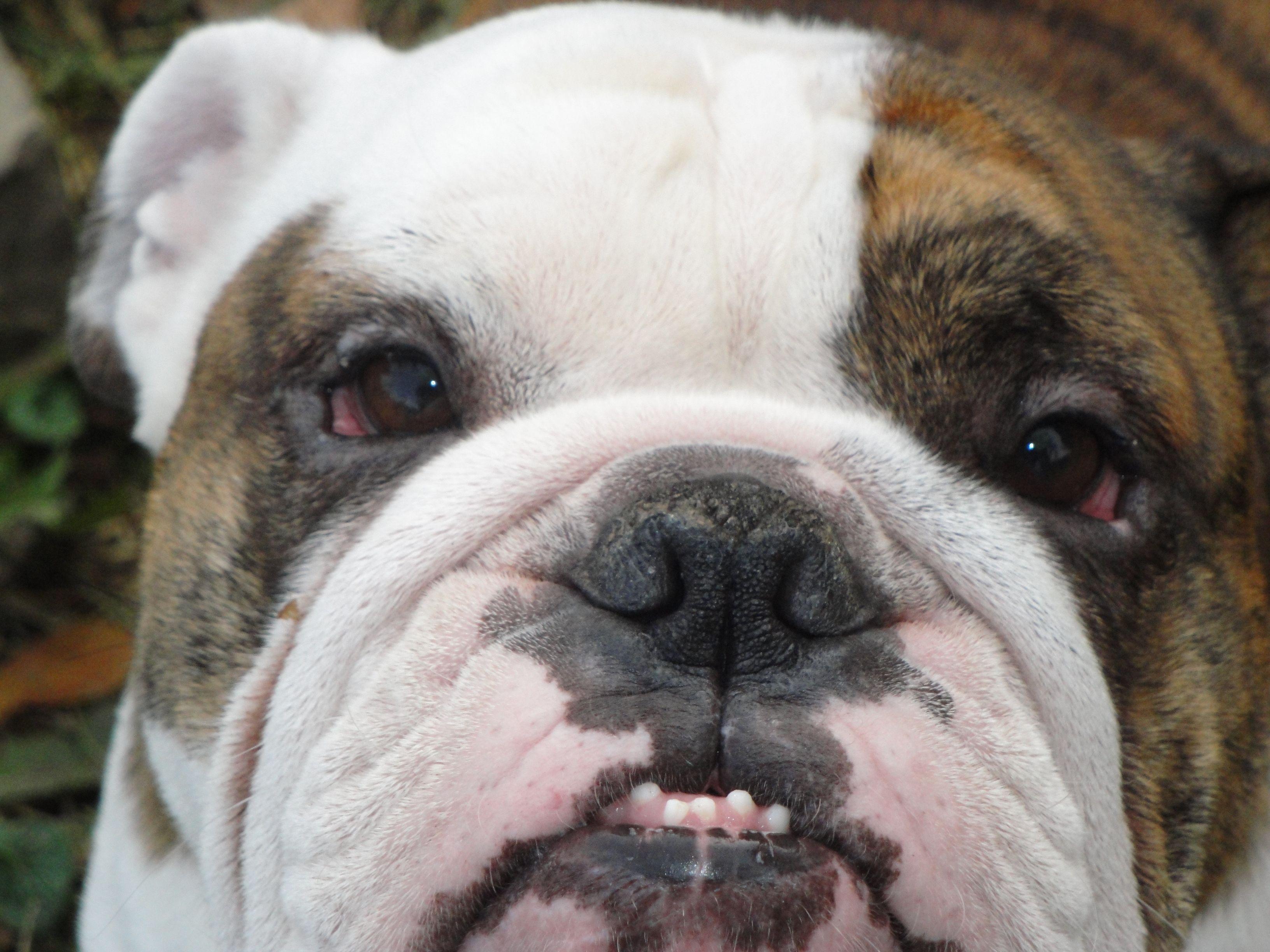Bulldog Too Cute I Want Them ALL!!! Dogs, Animals
