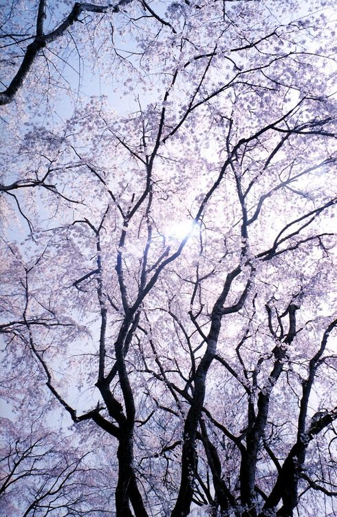 sakura by laungeville on Flickr.