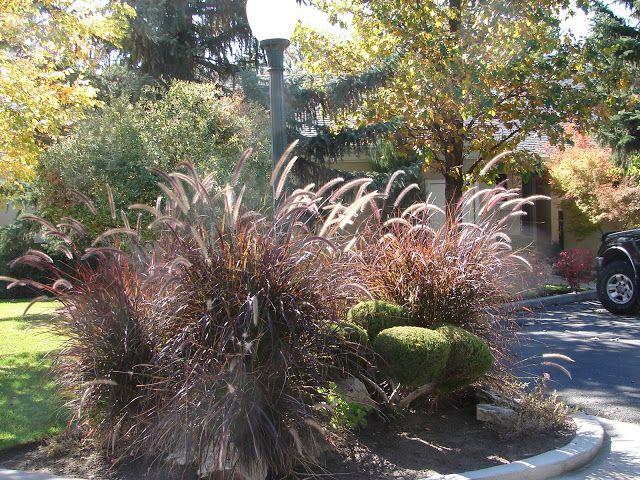 Is Purple Fountain Grass A Perennial Fountain Grass Grasses