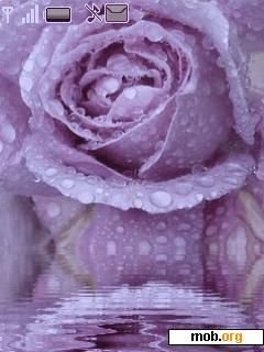 Download Free Animated Purple Rose Theme For Symbian S40 3rd Edition Purple Roses Rose Purple