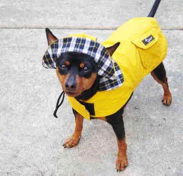 miniature pinscher wearing a raincoat