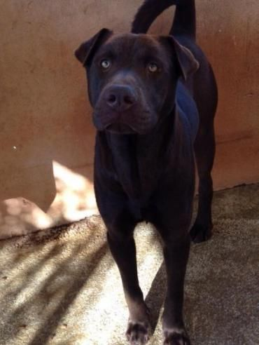 Hund Shar Pei Labrador Retriever Weiblich Kastriert 2 Jahre Spanien Choco Aus Barcelona Labrador Labradormischling Hund Und Katze