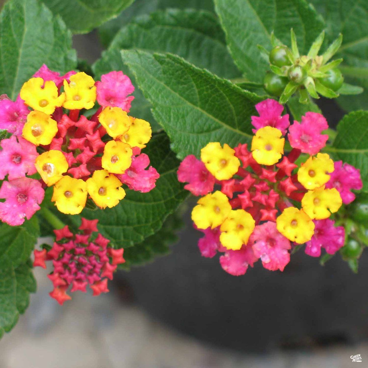 Lantanas Are Tops For Color All Summer 05 10 2007 Lantana Trees To Plant Beautiful Flowers