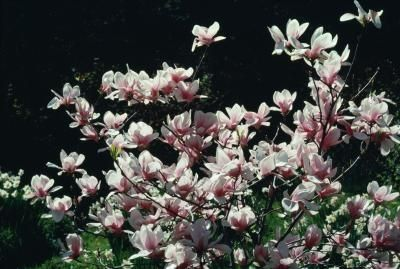 How To Dry Magnolia Seed Pods Ehow Little Gem Magnolia Tree Magnolia Trees Dwarf Magnolia