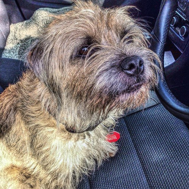 Pin By Beverley Armstrong On Border Terriers Border Terrier