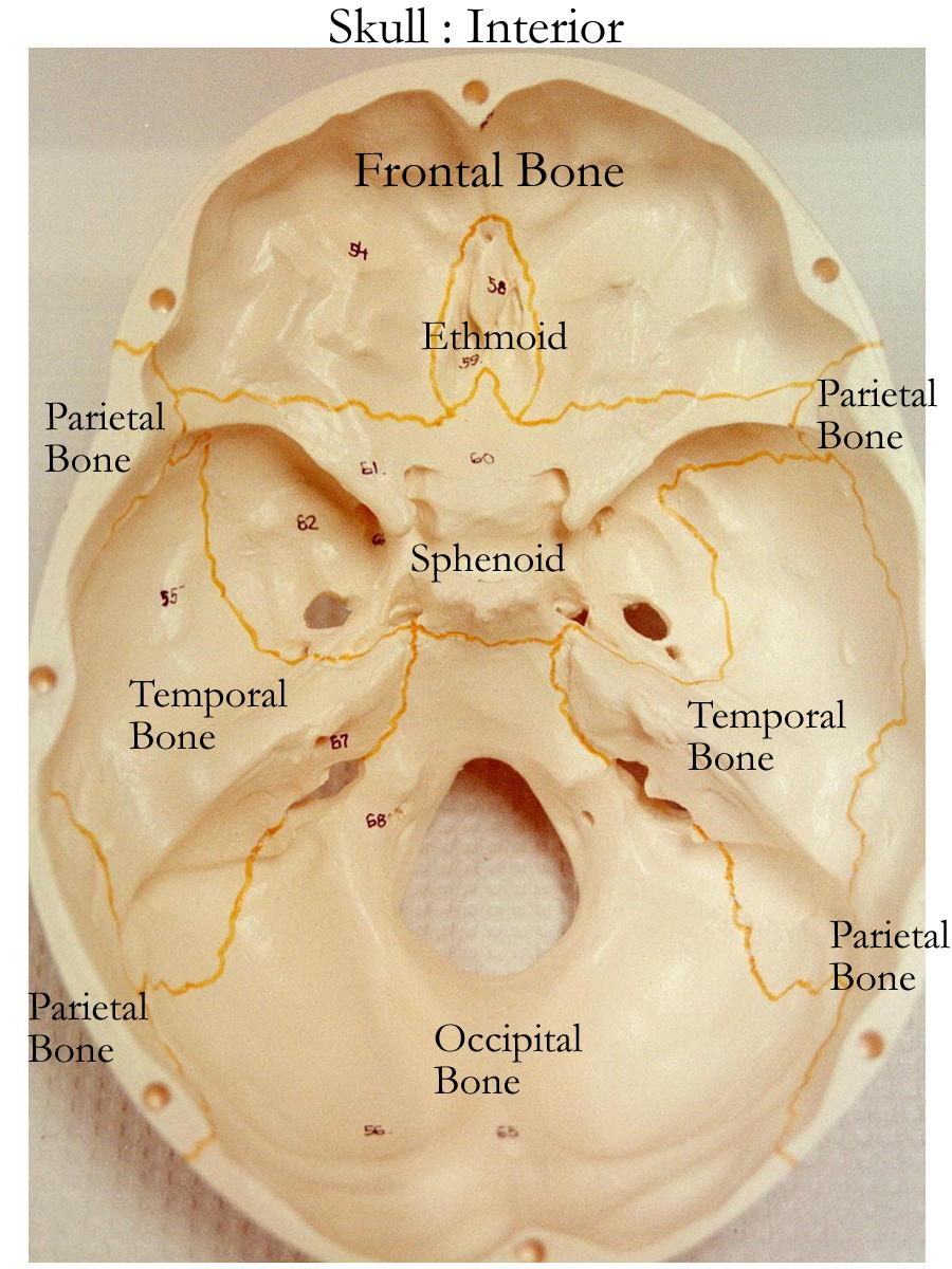Skull Bones Labeling Exercise Skull Cranial And Facial Bones