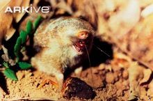 Gunning's golden mole feeding