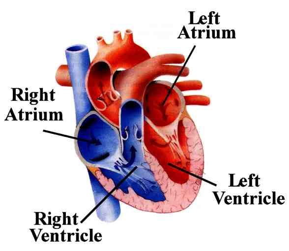 left atrium -the atria is the chamber in the heart where blood, Human Body