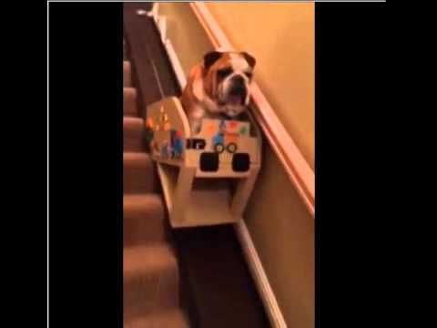 Elderly English Bulldog Rides Down The Stairs In A Custom Stair Lift English Bulldog Dog Stairs Dogs