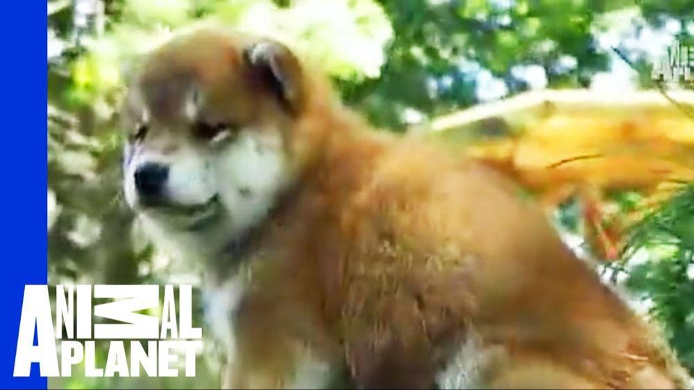 Shiba Inu Dogs 101 Youtube Shiba Inu Dog Dogs 101 Dogs