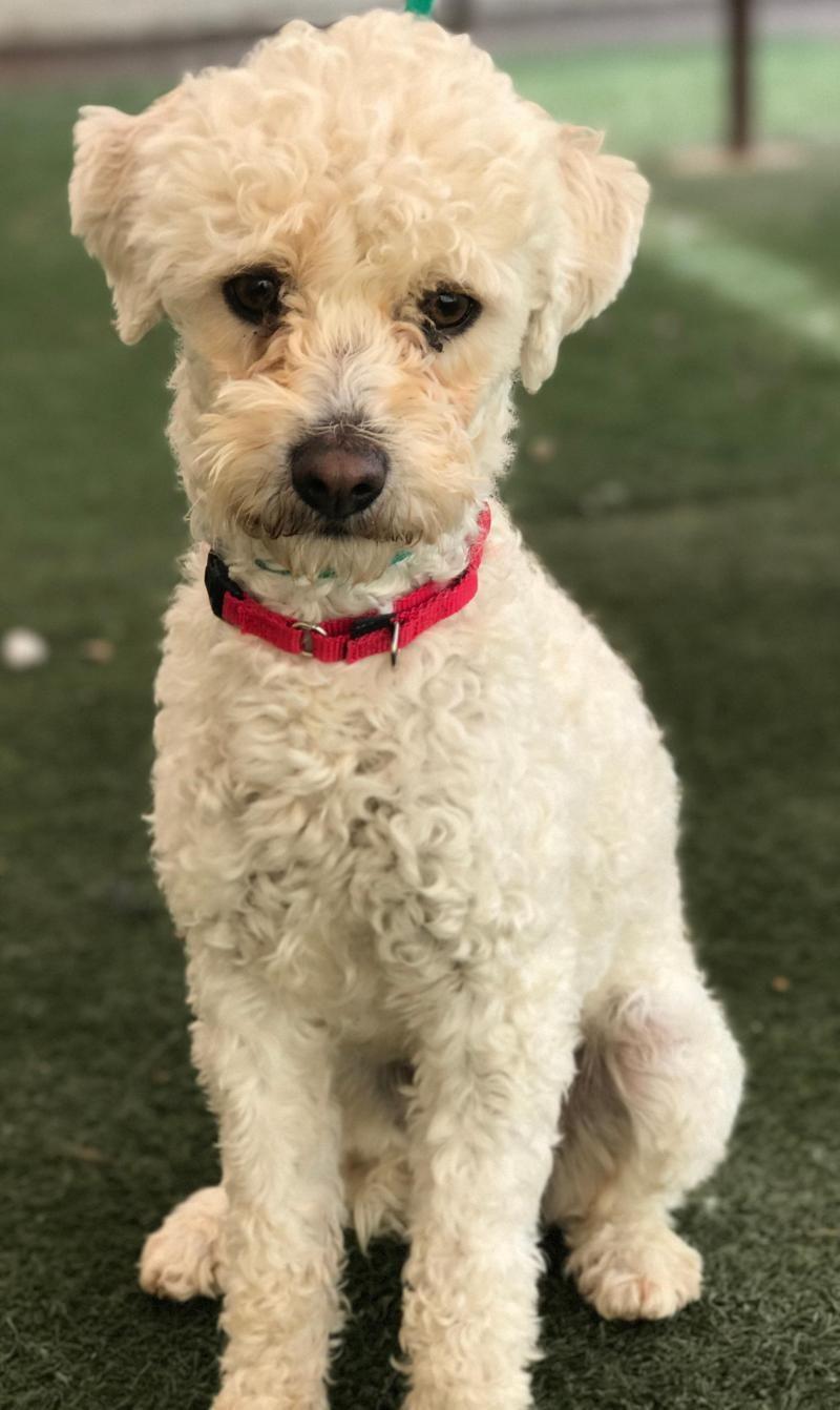 Adopt Craig On Poodle Mix Dogs Maltese Poodle Mix Maltese Poodle