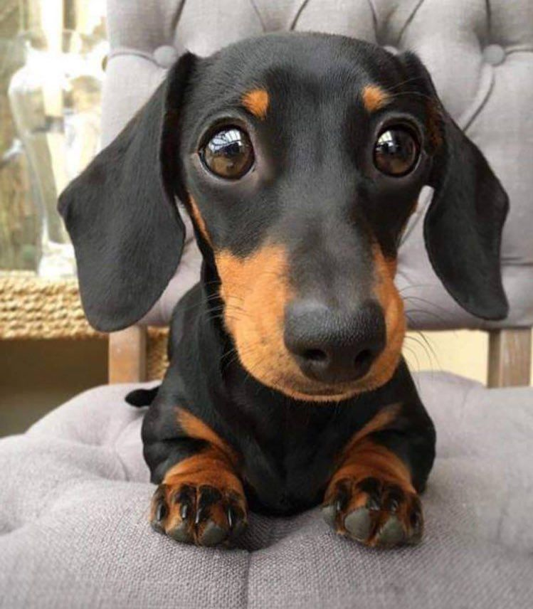 Pin By Zeynel Sezgin On Animals Dachshund Puppies Puppies Cute