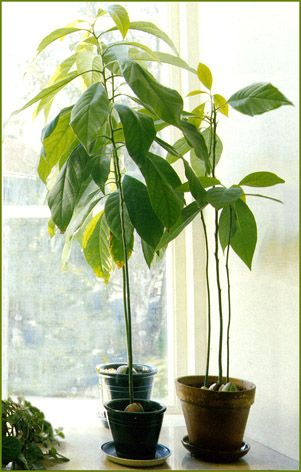 Plante exotique int rieur arbre tropical mesurant jusqu for Arbres artificiels interieur