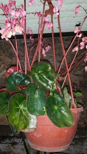 """begonia x erythrophylla """" - nombre científico: begonia"""