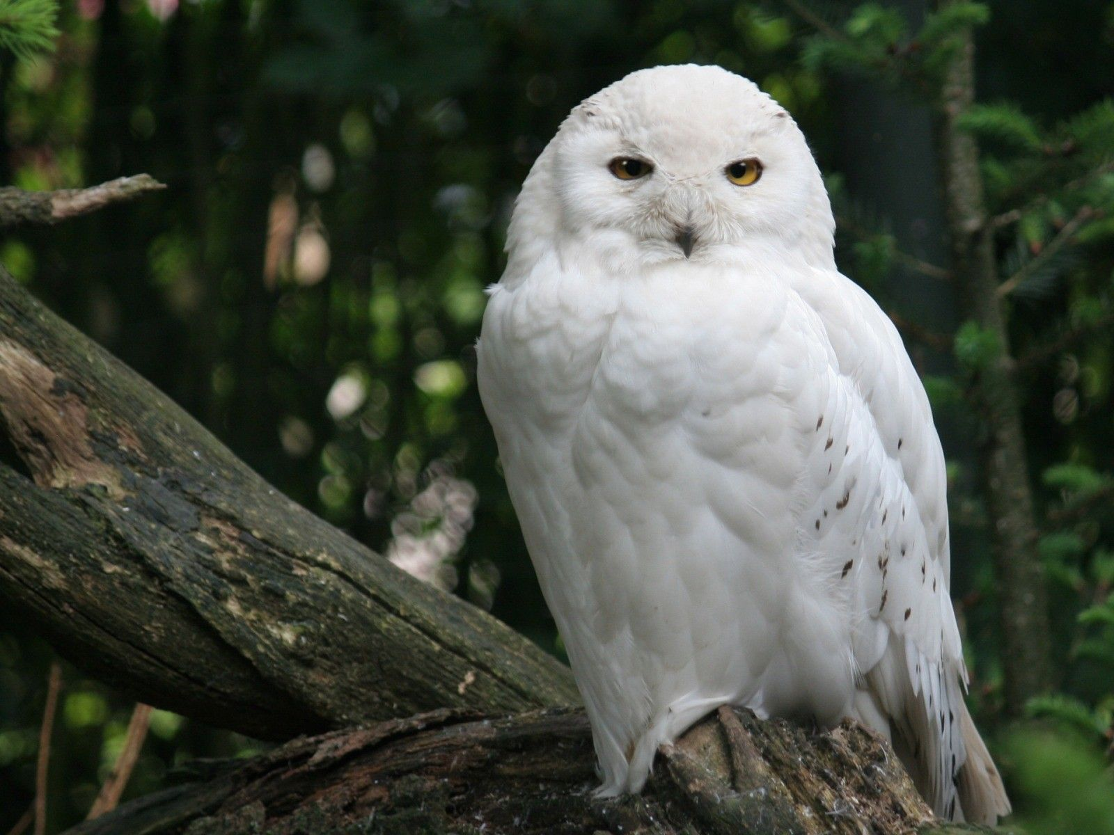 White owl 動物, シロフクロウ, 動物の壁紙