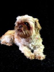 Adopt Dijon Turner On Petfinder Shih Tzu Dog Shih Tzu Dogs